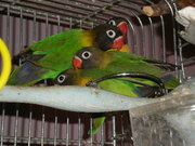 Black Masked Love Birds,  English and American Budgies- Albany County,